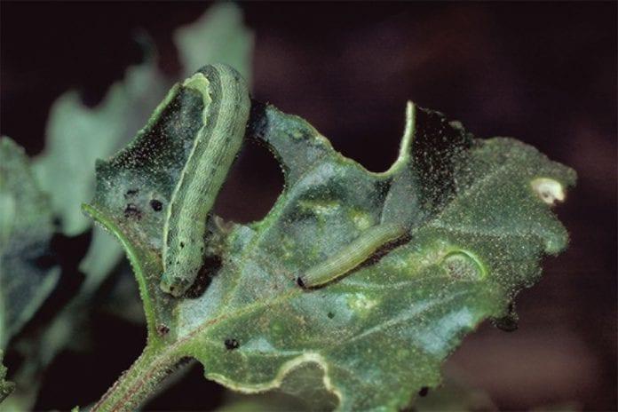 Πράσινου σκουληκιού