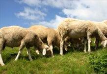 Βιολογική αιγοπροβατοτρόφους ενίσχυσης Επιδότηση Ζώα