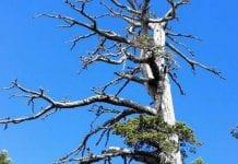 γηραιότερο δέντρο