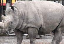 λευκός ρινόκερος
