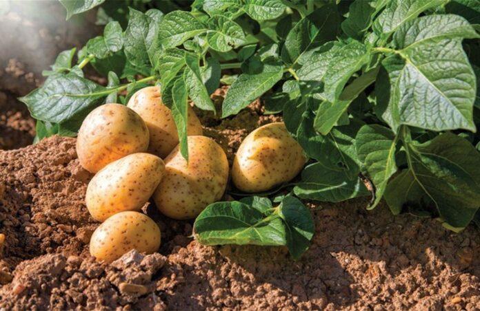 Ενισχύσεις πατάτες καλαμών